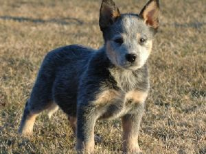 Blue Heeler Puppy Austrailian Cattle Dog Australian Cattle Dog Puppy Baby Dogs