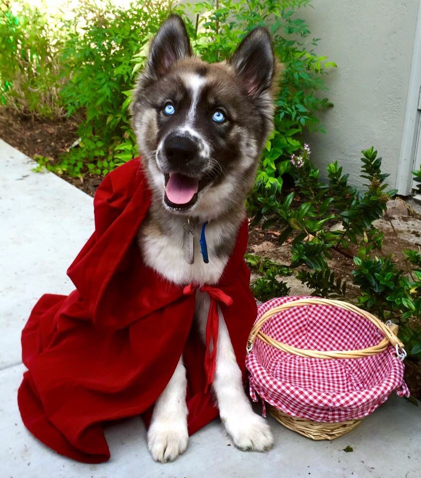 Dog wearing little red riding hood costume & Dog wearing little red riding hood costume | Dogs in Costume ...