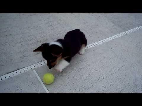 Corgi Puppy Vs The Tennis Ball Cute Dog Funny Favorite