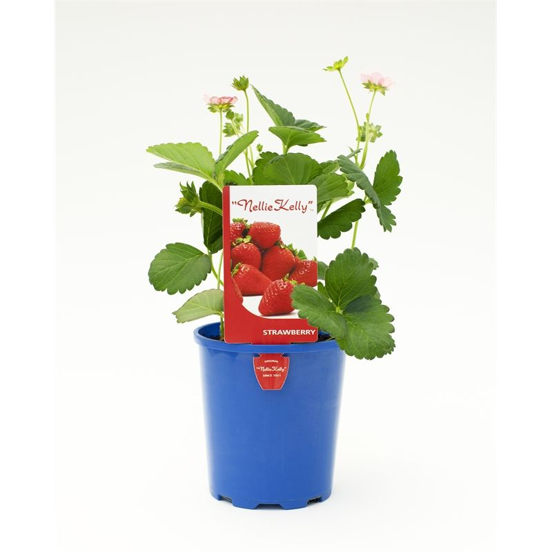 125mm pink flowering strawberry fragaria ananassa garden 125mm pink flowering strawberry plant mightylinksfo