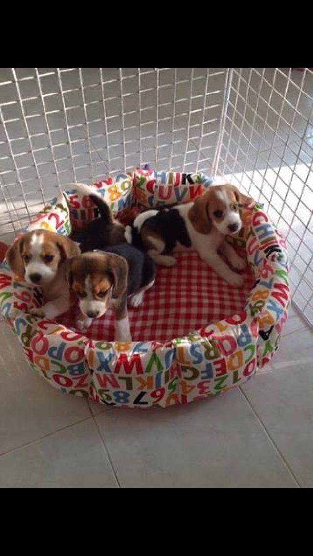 So Adorable Love Dogs Beagle Beagle Puppy Dogs