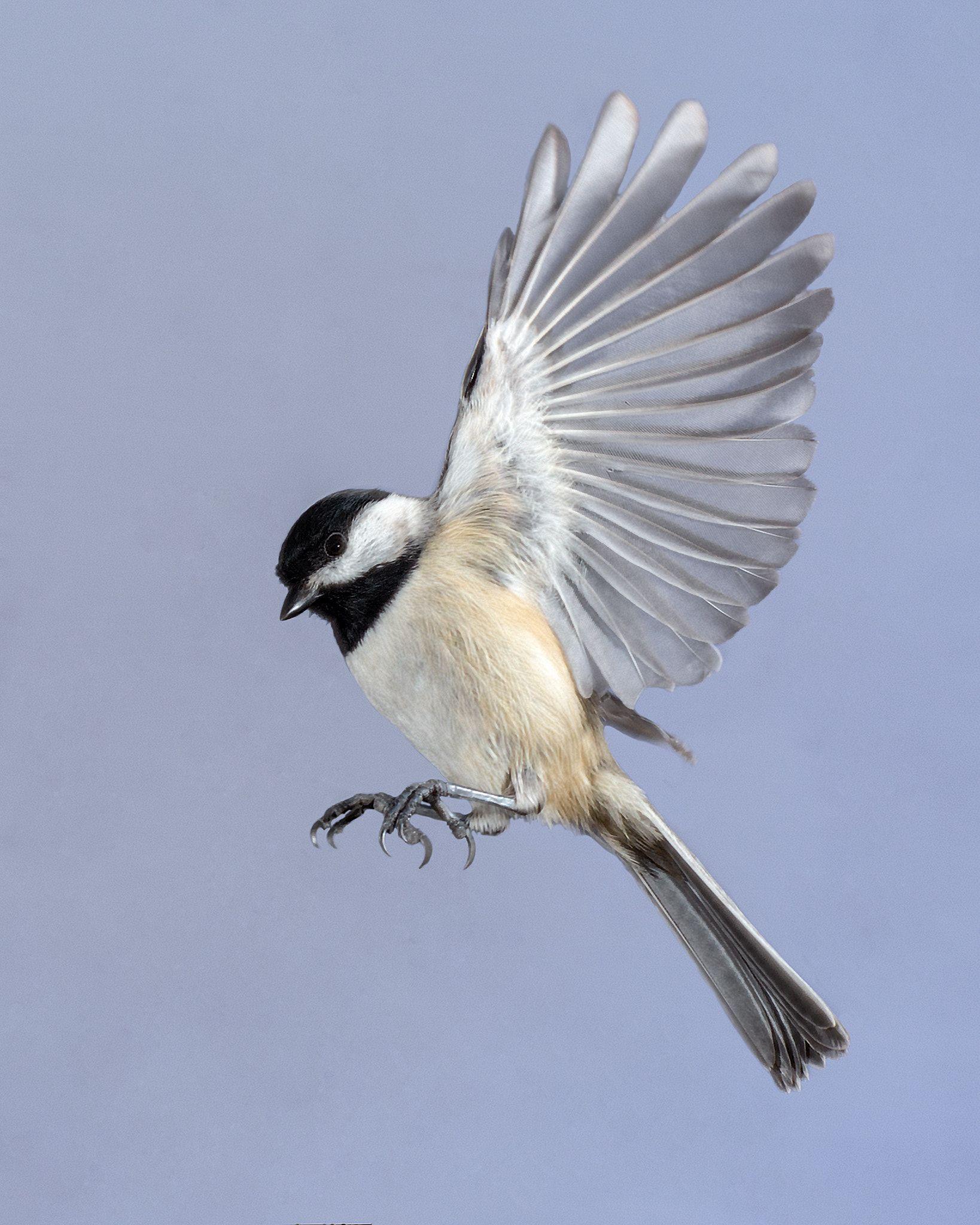 A chickadee often follows Loa around - - #Chickadee #Loa ... - photo#3