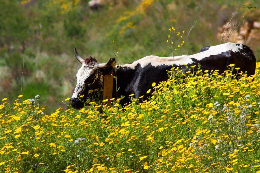 Cow- close to San Vito Lo Capo - Photo courtesy of Teodora Mihacsi