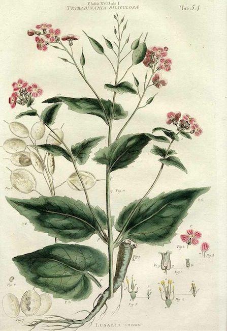 Money Plant - Lunaria annua - circa 1777