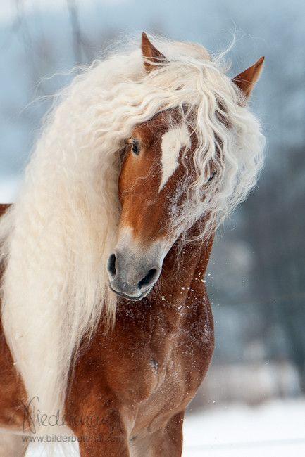 Haflinger Hengst Aladin - Fam. Luber - Pferdefotografie, Hundefotografie, Fotografie Bettina Niedermayr Pferde - Mensch & Pferd - Hunde- Portrait - Stallschilder - Kalender, Pferdekalender, Haflingerkalender mit Kohlfuchs Liz. Steiermark #dogsphotography
