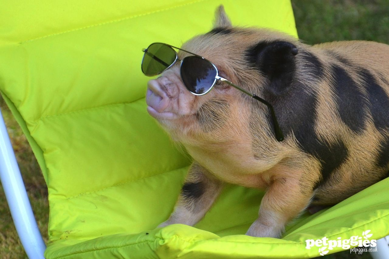 Image result for cool pig