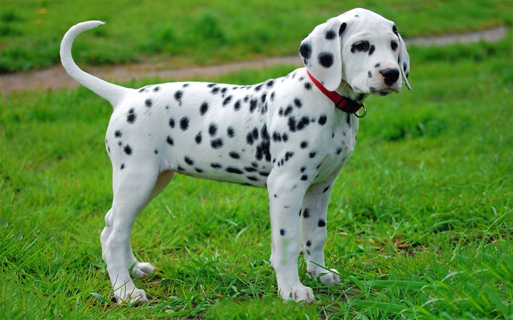 Dalmatian puppies breed information puppy breeds