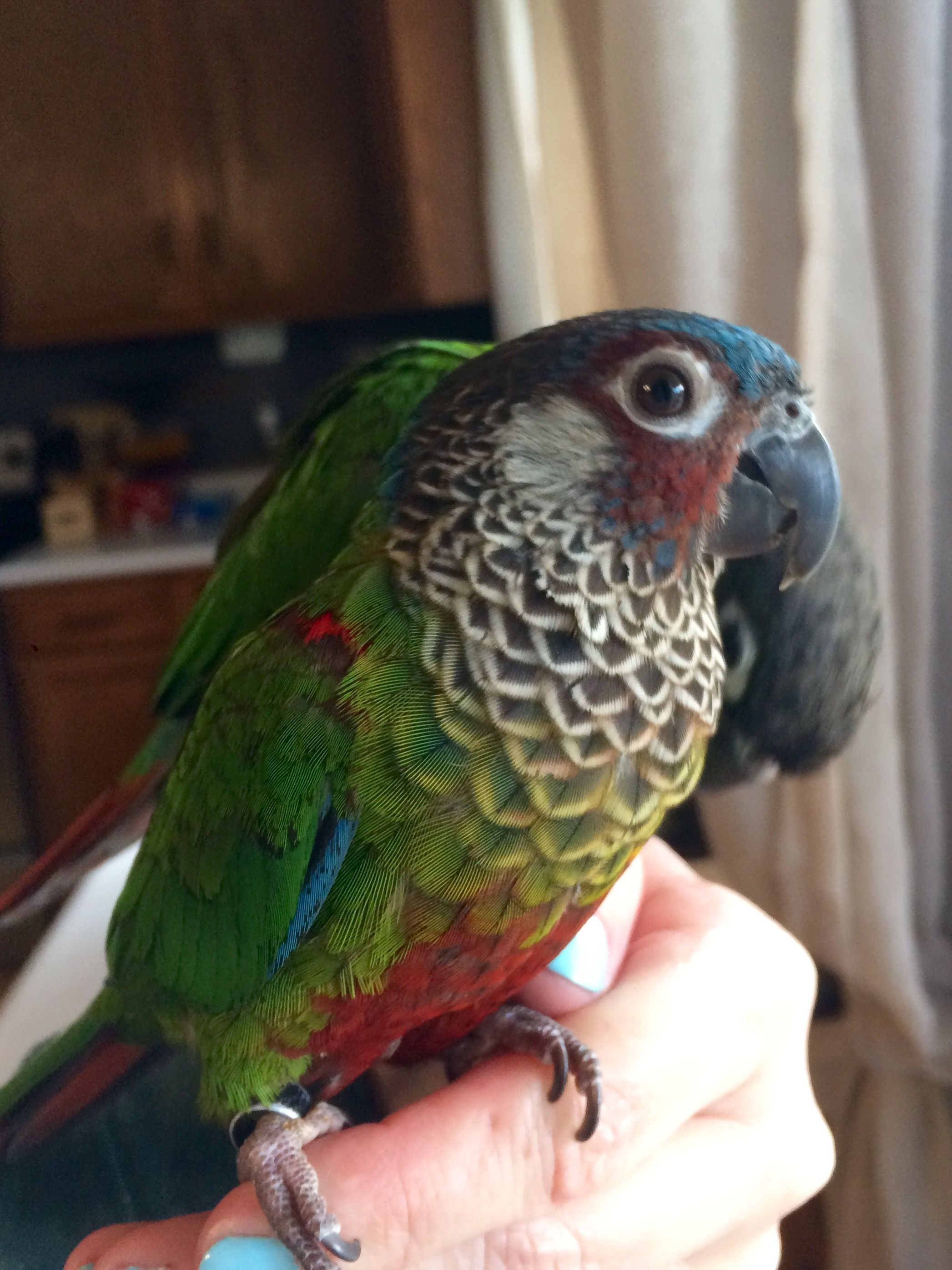 Bindi the Painted Conure  | Painted conure | Conure bird, Conure, Birds