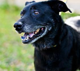 T McGee is an adoptable Labrador Retriever Dog in