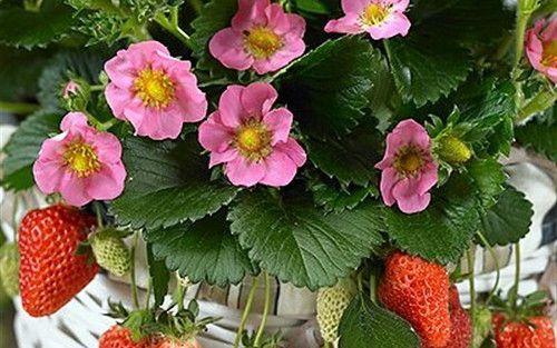 Lipstick strawberry plant fragaria ornamentaledible 4 pot lipstick strawberry plant fragaria ornamentaledible 4 pot strawberry planting mightylinksfo