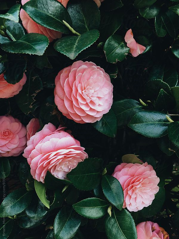 Processed With Vscocam With A6 Preset Flower Aesthetic Flowers Camellia Flower
