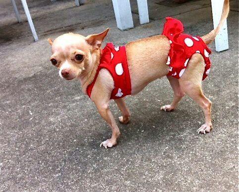 Bikini Chi Cute Chihuahua Chihuahua Puppies Chihuahua