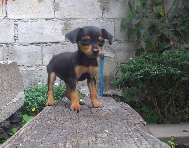 Micro Mini Pinscher Cute Baby Animals Animals Beautiful Mini