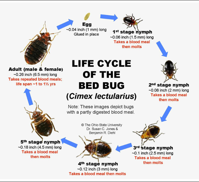 Life Cycle A bed bug infestation can have a long life