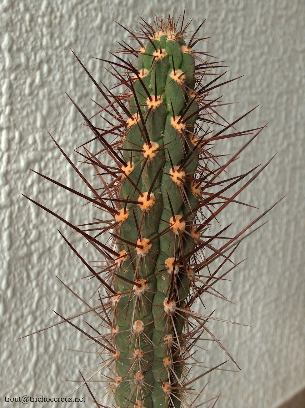 Trichocereus Deserticola / Echinopsis Deserticola - http://trichocereus.net/trichocereus-deserticola-deserticolus/