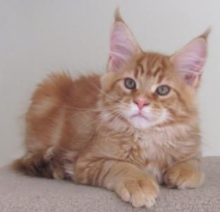 Big River Coon Maine Coon Cats & Kittens Available