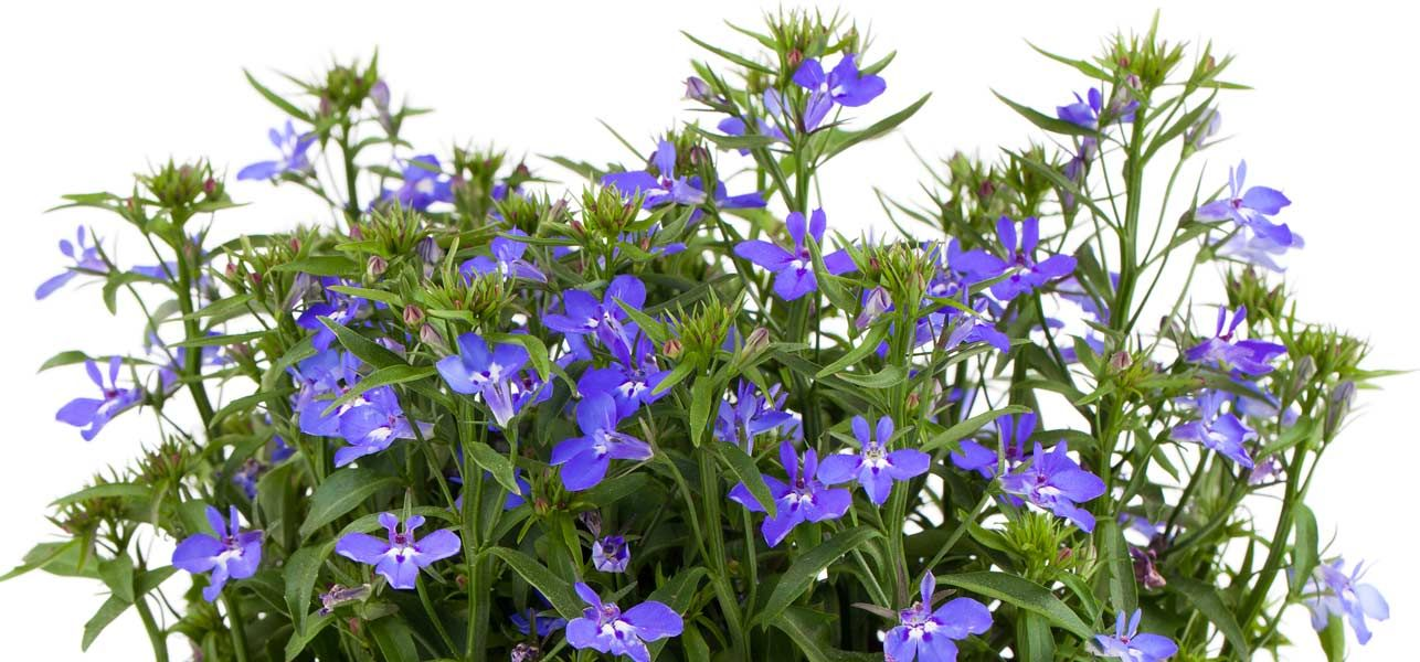 6 Medicinal Uses And 8 Side Effects Of Lobelia Herb Herbalist