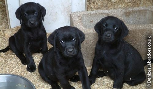 Black Lab Puppies
