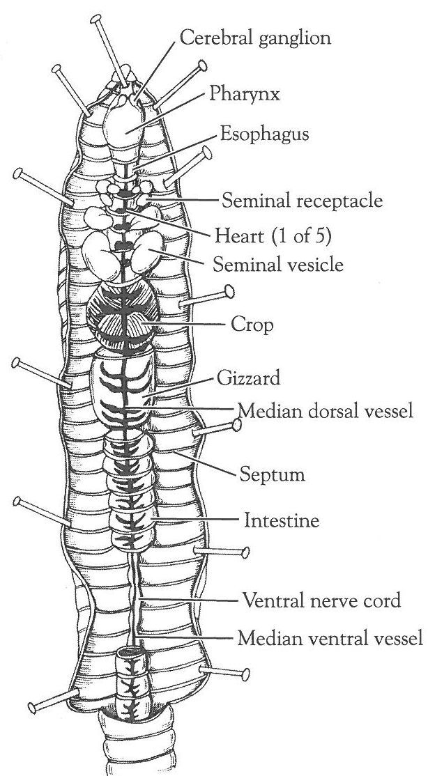 Earthworm activity sheets closed circulatory system closed circulatory system dissection of the crayfish and earthworm ccuart Choice Image