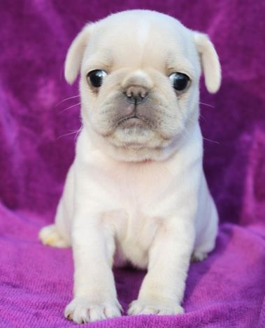 Surprise Pug Puppy Baby Pugs Pug Puppies Cute Pugs
