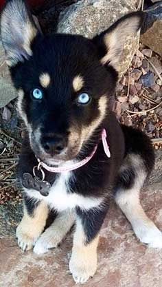 The Rottweiler Husky Mix Too Much Of A Handful Or The Ideal Mix