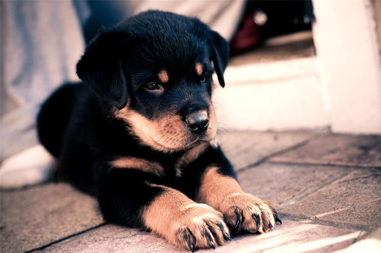 Details About Rottweiler Puppy Glossy Poster Picture Photo Dog Puppies Cute Baby Funny 1719 Rottweiler Puppies