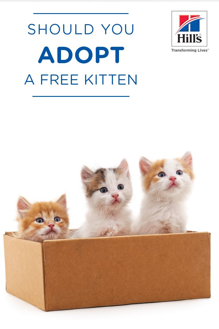 Is Adopting a Free Kitten a Good Idea? Kittens, Adoption