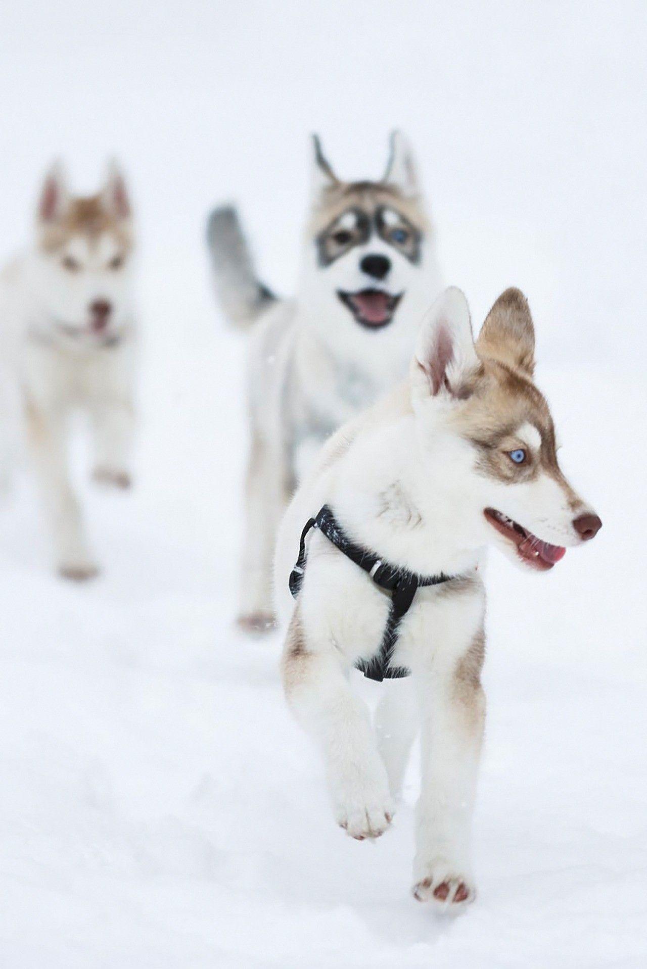 Huskies Snowrunners Husky Dogs Siberian Husky Puppies