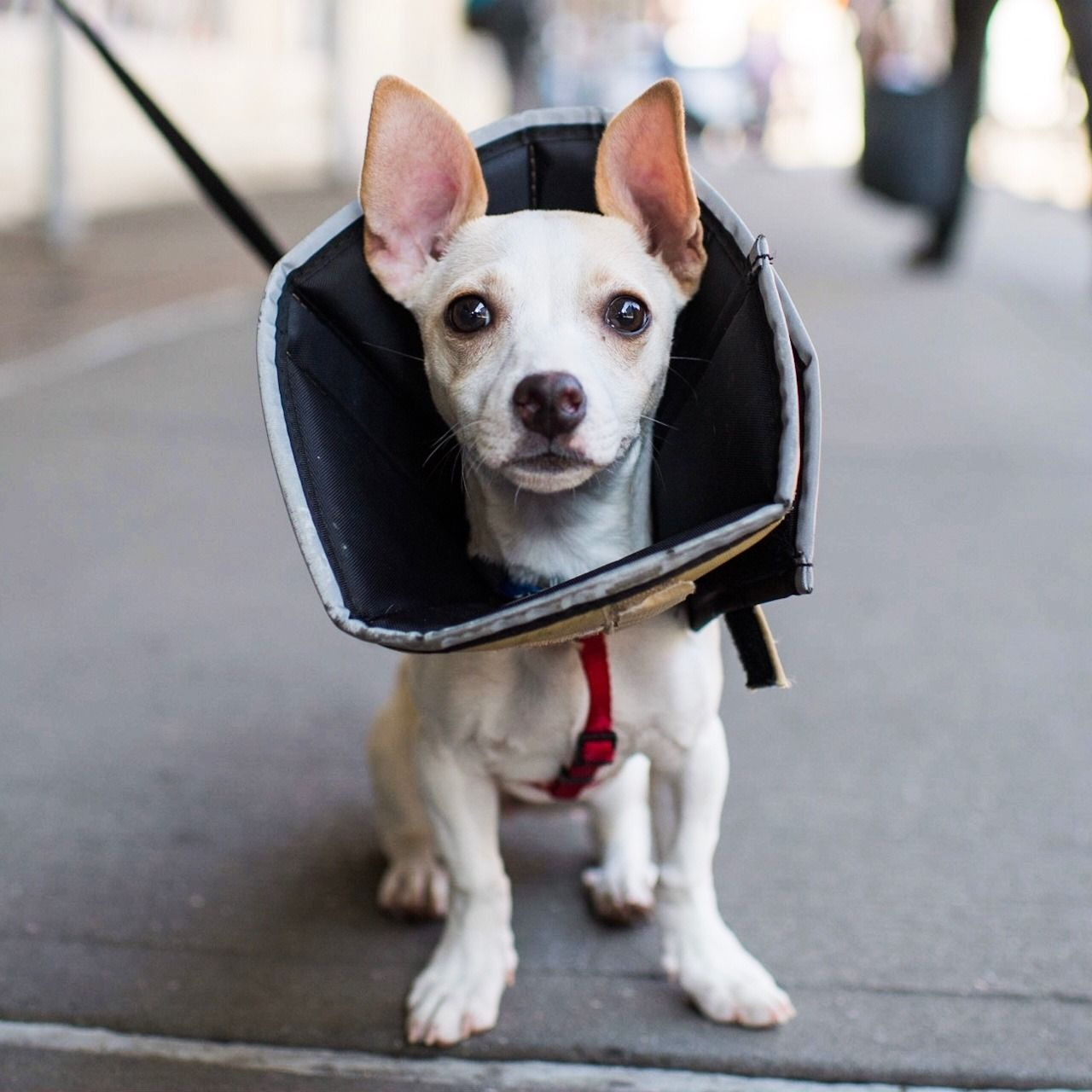Penny Chihuahua Terrier Mix 4 M O Bleecker Amp Lafayette