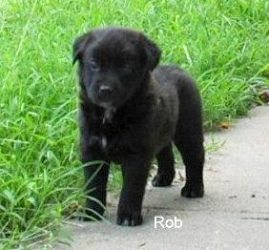 Rob Is An Adoptable Newfoundland Dog Dog In Torrington Ct Thank You For Choosing Rescue Most Of Our Pets Can Be Tr Newfoundland Dog Dogs Labrador Retriever