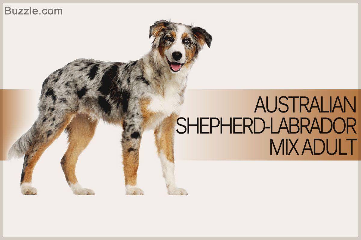 Australian Shepherd Labrador Mix Adult Australian Shepherd