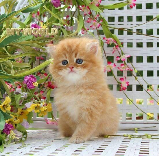 ป กพ นโดย Wasana Rungchaweng ใน Kitty แมวน าร ก ล กแมว ส ตว