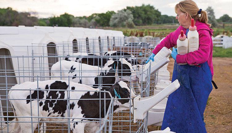 While Calf Hutches Can Provide Excellent Calf Care Calf Barns Are Also A Comfortable Housing Environment For Dairy Calves Calves Barn Cow House
