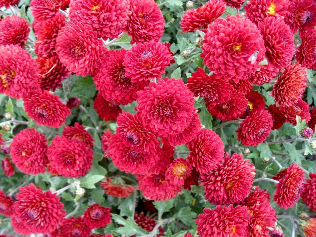 033 Flowers Red Bonsai Flower Chrysanthemum Flower Home Garden Plants
