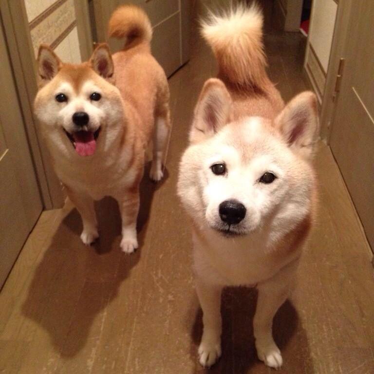 Beautiful Akita Chubby Adorable Dog - a9cdfeefd64e1cf3dec63520737f1640  2018_76433  .jpg
