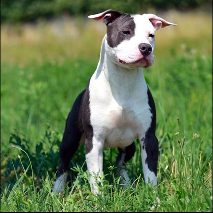 American Staffordshire Terrier Amstaff 33 Best Dog Breeds