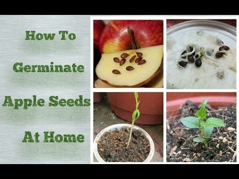 Apple Seeds Germination At Home Step By Step Easy Process Youtube Apple Tree From Seed Apple Plant Growing Fruit Trees