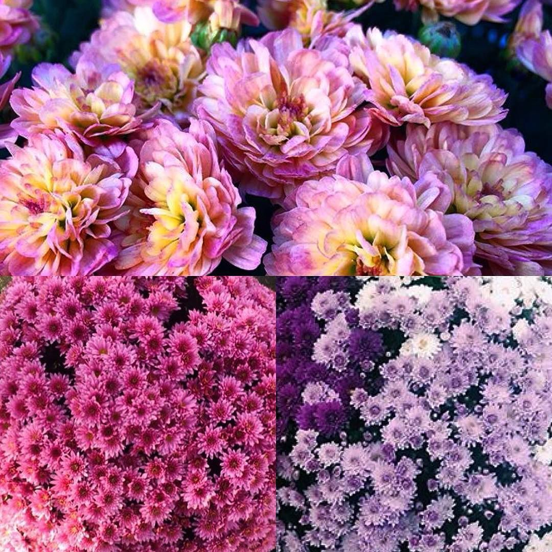 November is the month of the #chrysanthemum - using these in your #weddingflowers in #November is said to bring good luck the perfect punch of colour for a #winterwedding are you having a #novemberwedding? #pinkchrysanthemum #purplechrysanthemum #yellowchrysanthemum #weddingbouquet #weddingluck #oldwivestale #flowerstagram #floweroftheday #weddingideas #weddingblog #weddingblogger #londonblog #londonblogger #devinebride