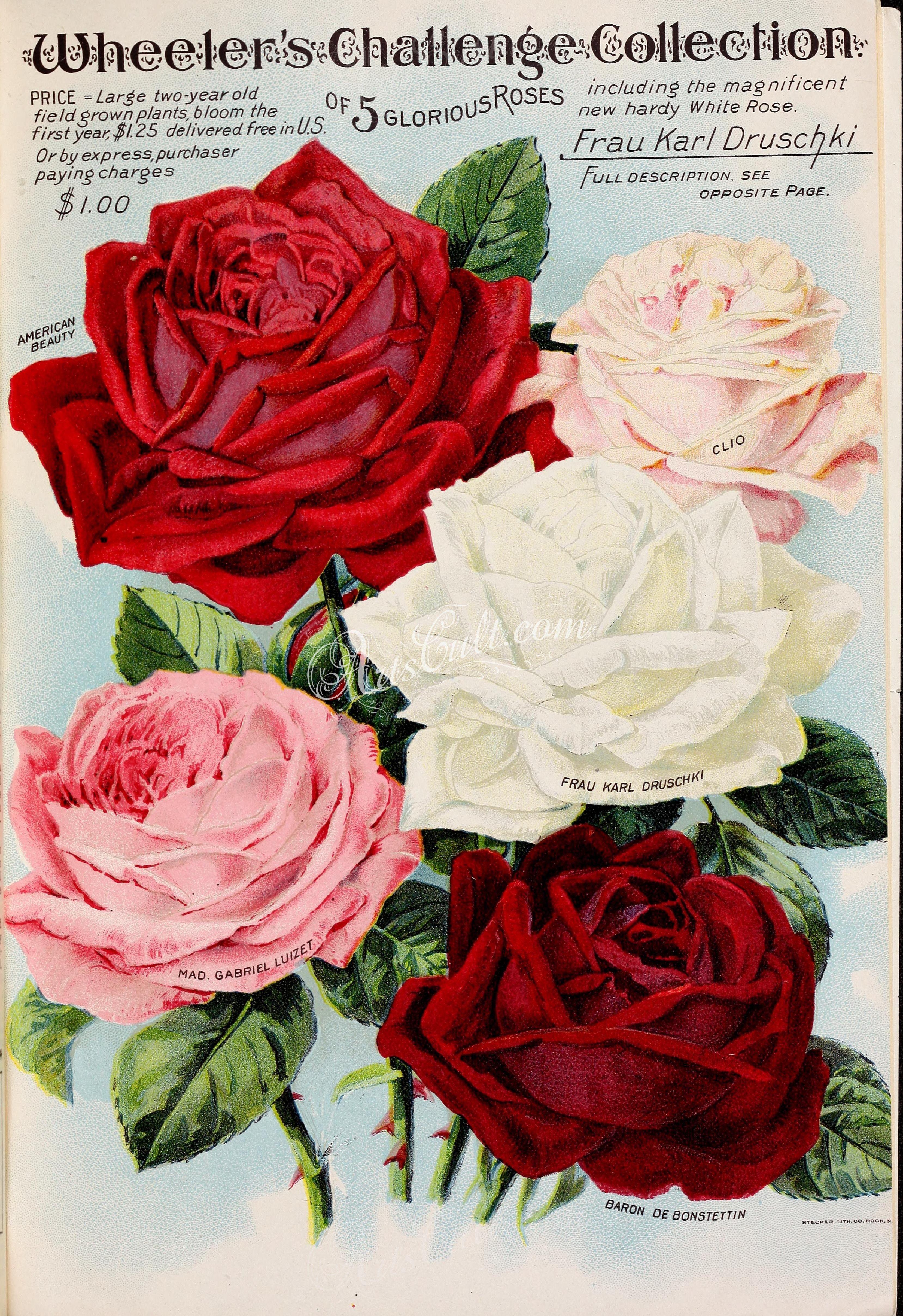 038 Rose