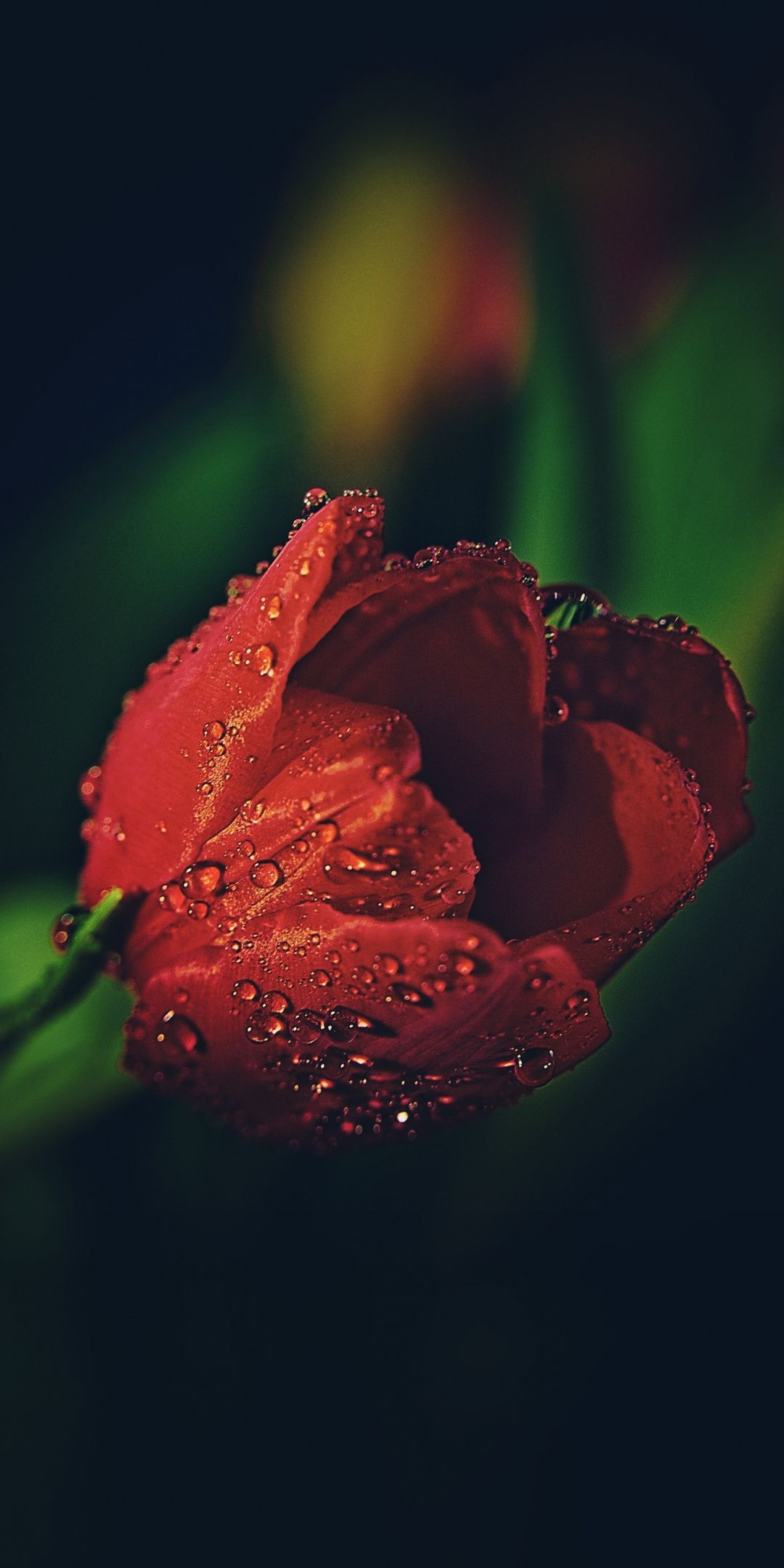 Drops Red Tulip Close Up 1080x2160 Wallpaper Red Tulips Tulips Tulips Flowers