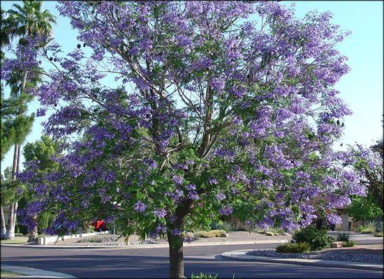 Jacaranda For Fast Growing Desert Trees Moon Valley Nursery Phoenix Arizona