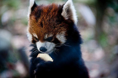Red Panda With Cake :)