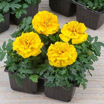 Marigold Chica Yellow | Growing marigolds, Marigold ...