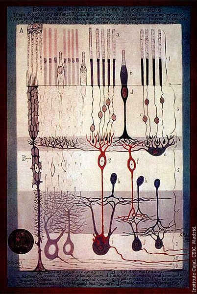 Structure Of The Mammalian Retina By Ramon Y Cajal Brain Art