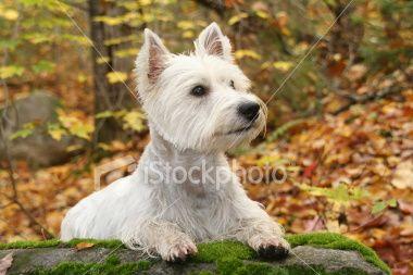 Grooming Dog Throwing Up Westie Puppies Westie Dogs