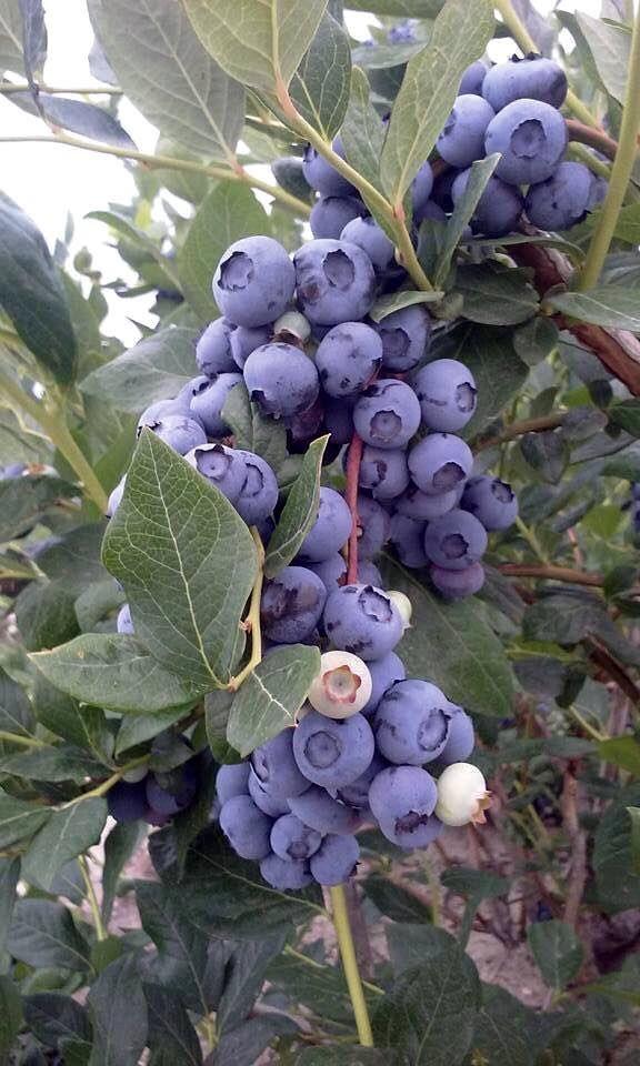 Dimeo Blueberry Farms Nj