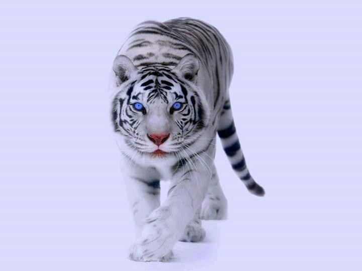 White siberian tiger in snow - photo#21