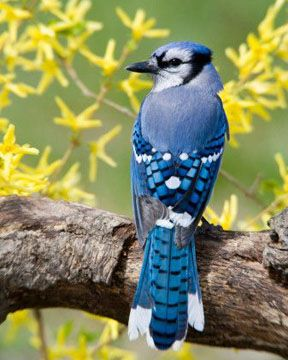 Beautiful Blue Jay They Are Large And Scare The Other Little