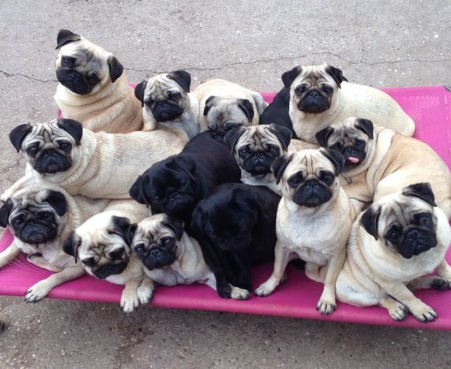 A Grumble Of Pugs I Didn T Know They Were Called A Grumble