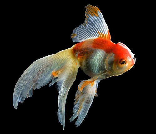Fantail Goldfish Art Print By Wernher Krutein Fantail Goldfish Goldfish Art Goldfish